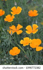 Close up outdoor view of Eschscholzia californica plant, also called california poppy, papaveraceae family. Solitary flowers on long stems, silky-textured, with four yellow orange colored petals,