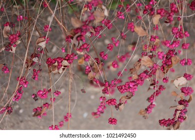 Close up outdoors view of symphoricarpos plant, caprifoliaceae family. Pink flowering plant, deciduous shrub. Dead leaves oppositely arranged on the spreading branches. Pattern of pink natural rounds.