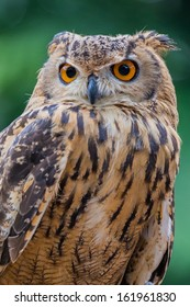 Close up of owl staring ahead with green background
