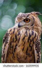 Close up of owl staring to the left with green background
