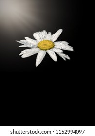 Close up of Oxeye daisy (Chrysanthemum leucanthemum) with raindrops on white petals on black background