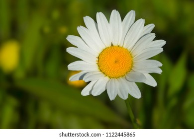 Close up of an Ox-eye Daisy flower. Todmorden Mills, Toronto, Ontario, Canada.