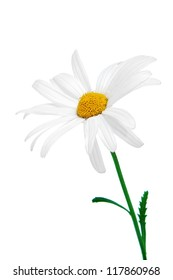 close up of a oxeye daisy on a white background