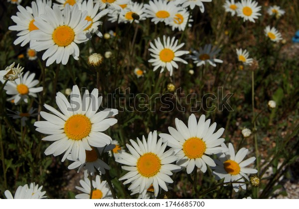 Close up of Oxeye Wild Daisies in late spring