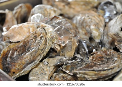 Close up Oysters sitting on ice waiting to be shucked.