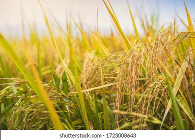 Close up of paddy rice field in morning time.