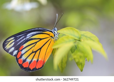 Close up the Painted Jezebel Butterfly (female)