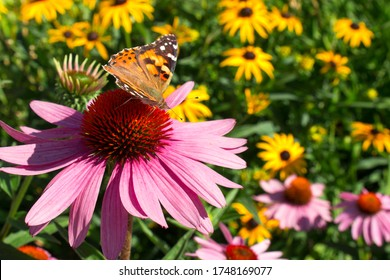 Close up Painted Lady Butterfly pollinating echinacea wildflowers in wildflower prairie garden