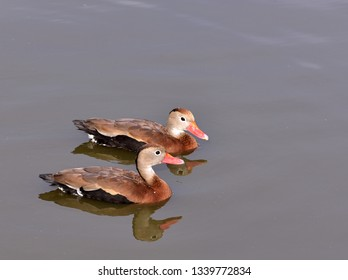 Close up of a pair black bellied whistling ducks (Dendrocygna autumnalis), swimming in the water.
