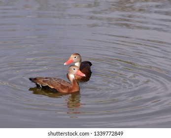 Close up of a pair of black bellied whistling ducks (Dendrocygna autumnalis), swimming in the water.