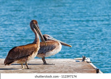 Close up of a pair of brown pelicans in profile on a wood dock with blue water in the background