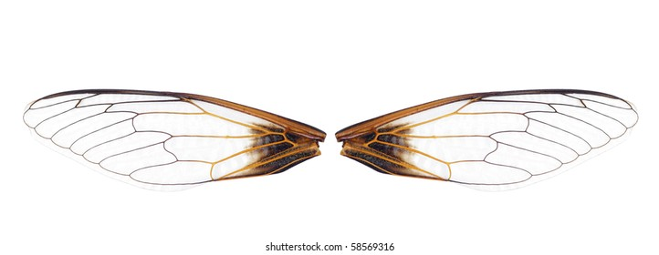 close up of a pair of cicada wings on white background.