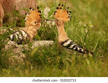 Close up pair of Eurasian Hoopoes Upupa epops when male coming with  big worm in its beak as present for female. Summer flowering meadow as background.