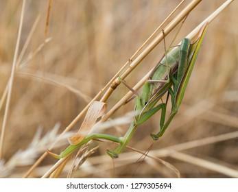 Close up of pair of European mantis ( Mantis religiosa ) or Praying mantis copulating on a dry grass