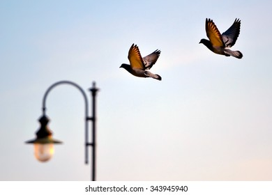 Close up of a pair of pigeons in flight