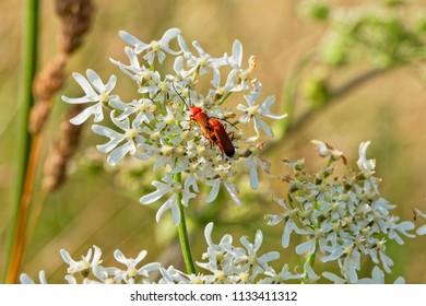 Close up of a pair of Red Cardinal Beetles mating on a white Night Flowering Catchfly