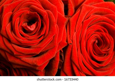 Close up of a pair of red roses with side lighting revealing delicate texture