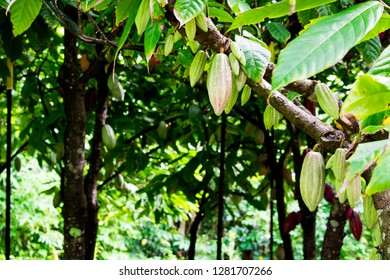 A close up of pale green cacao pods growing on branches and trunks of their trees on a chocolate farm on Kauai, Hawaii.