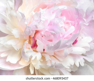 Close up of pale pink peony flower. Macro photo with shallow depth of field. Abstract natural background.