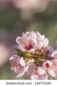 Close up of pale pink spring blossom