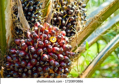 Close up of palm oil fruit on palm trees in Southern Thailand.