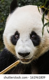 Close up of a panda eating bamboo