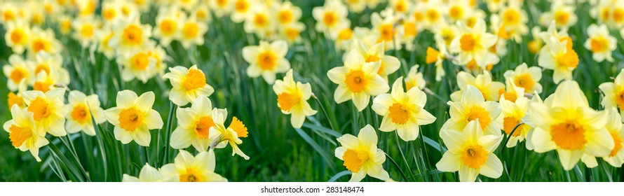 close up panorama of flowers, narcissus
