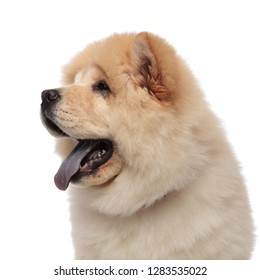 close up of panting chow chow with blue tongue exposed looking to side while standing on white background