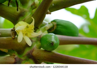 close up the papaya flowers and young papaya in papaya tree,Papaya plant and fruit from Koehler's.