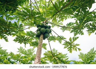 close up of a papaya tree whose fruit is ripe on the tree. hawaii