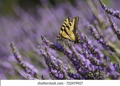 Close up of Papilio machaon and Beautiful purple lavender blossom of Lavender Festival of 123 Farm at San Bernardino, Los Angeles County, United States