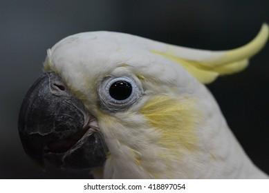 close up Parakeet