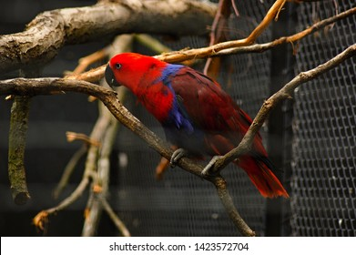 Close up to the parrot red lory (Eos bornea) known as Eos rubra