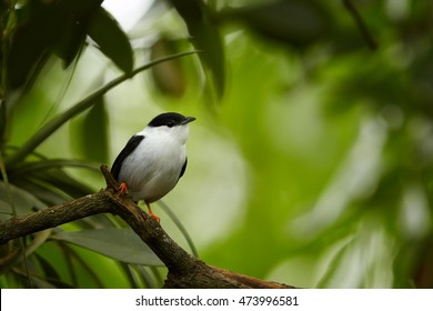 Close up passerine, White-bearded Manakin, Manacus manacus, white male, tiny and rare songbird in tropical forest of Trinidad. Trinidad and Tobago.