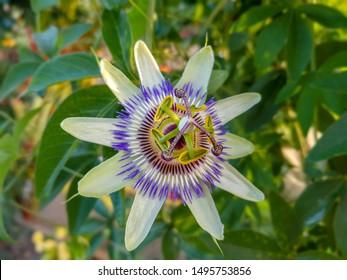 Close up passiflora. Passion Flower (Passiflora caerulea) leaf in tropical garden. Beautiful passion fruit flower or Passiflora (Passifloraceae). Passiflora is genus of 550 species. Blue passion fruit