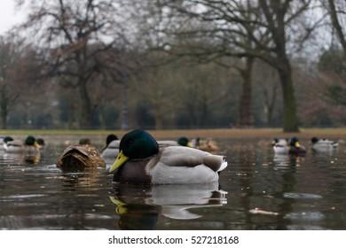 Close up of passing Mallard Ducks. Mallard Ducks at the Lake