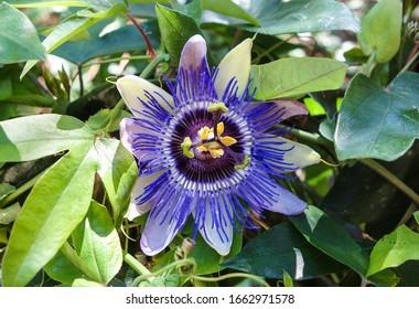Gros plan sur la fleur de fruits de la Passion en été ( Passiflora Edulis )