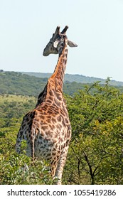 Close up of pattern and texture of Giraffe body against natural hilly landscape and blue sky in  Imfolozi-Hluhluwe Game park in South Africa