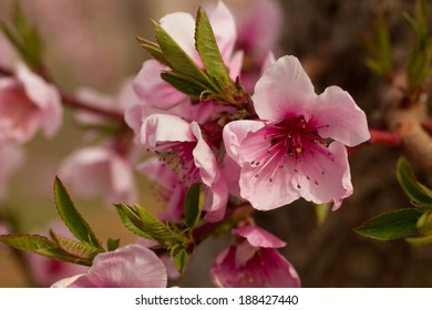 Close up of peach blossoms on tree in peach orchard lit by afternoon sun