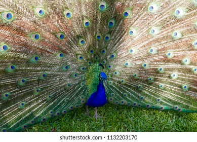Close up of peacock with colorful wings fully open