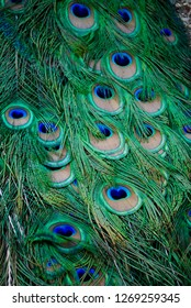 Close up of peacock feathers detail and pattern. Male Indian peacock located at the City of Ten Thousand Buddhas in Ukiah, California (international Buddhist community and monastery).