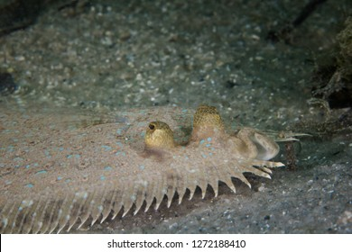 Close up of a Peacock Flounder fish (Bothus Mancus) laying on the ocean floor. Light color body with light blue markings.