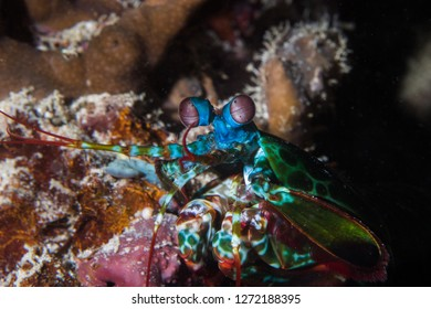 Close up of a Peacock Mantis Shrimp (Odontodactylus Scyllarus) facing the camera.