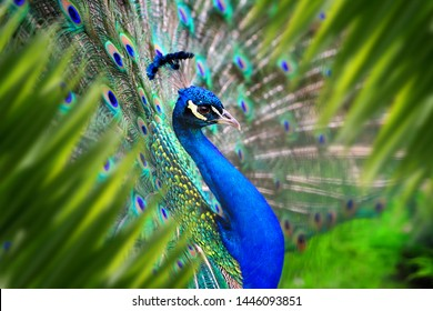 Close up peacock portrait in jungle with leaf