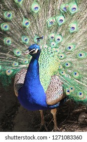Close up of a peacock at the zoo