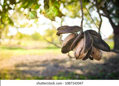 Close up of pecan cluster in an orchard
