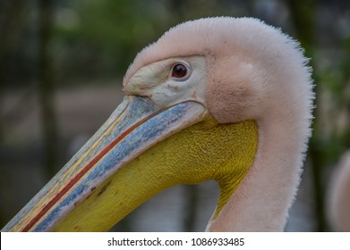 Close Up Of A Pelican At Artis Zoo Amsterdam The Netherlands 2018