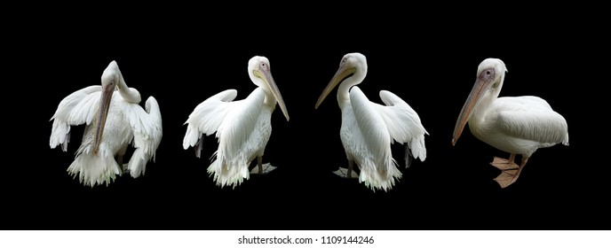 Close up of pelican (pelecanus conspicillatus) isolated on black background, selective focus. Clipping path included.