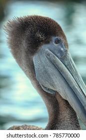 Close up of pelican resting
