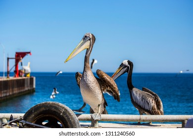 Close up of pelican's face with big beak  on the fish market in Valparaiso, Chile